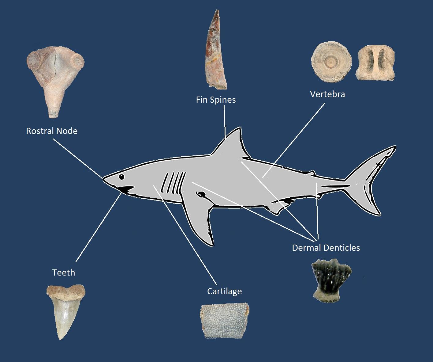 Phatfossils - Shark Fossils